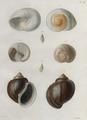 Gastropoda-Humboldt-T057.png