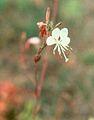 Gaura neomexicana coloradensis.jpg