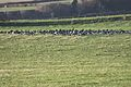 Geese, Murlough, County Down, January 2012 (06).jpg