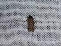 Gelechiidae sp. (42671489922).jpg