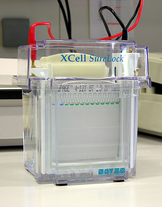SDS-PAGE - Electrophoresis chamber after a few minutes of electrophoresis. In the first pocket a size marker was applied with bromophenol blue, in the other pockets, the samples were added bromocresol green