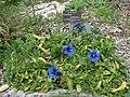 Gentiana occidentalis ssp. corbariensis 1.JPG