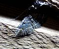 Geometridae. Epyaxa sodaliata - Flickr - gailhampshire (1).jpg