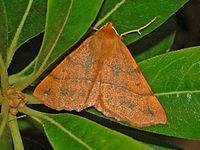 Geometridae - Colotois pennaria.JPG