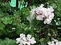Geranium Double ivy from Lalbagh flower show Aug 2013 7904.JPG