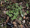 Geranium wlassovianum new foliage - Flickr - peganum.jpg