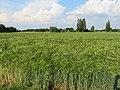 Gerstenfeld - Hordeum vulgare.jpg