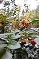 Gevuina avellana Flor y fruto de avellano (RastaChango).jpg