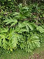 Giant Hogweed - geograph.org.uk - 1315283.jpg