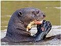 Giant Otter (43760336664).jpg