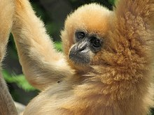 Gibbon close-up.jpg