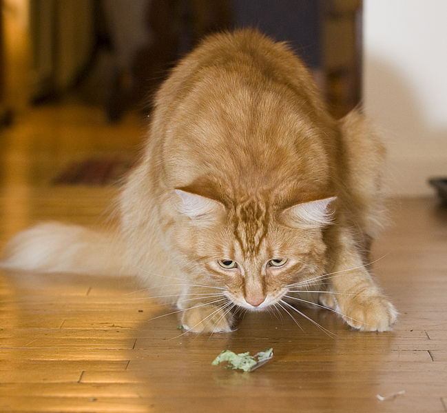 File:Gillie stalking the catnip (2587001371).jpg