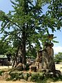 Ginkgo tree of Sukune and stone lantern of Iminomiya Shrine.jpg