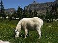 Glacier NP goat 2005 - panoramio.jpg