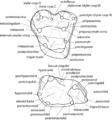 Glasbius molar nomenclature - ZooKeys 465-03.png