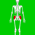 Gluteus medius muscle01.png