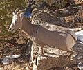 Goat 2 (4280704006).jpg