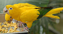 Golden Conure Guaruba guarouba Feeding 2134px.jpg