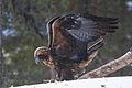 Golden Eagle (Aquila chrysaetos) (13667913383).jpg