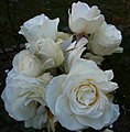 Golden Gate Park Rose Garden 7.jpg