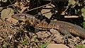 Golden Tegu (Tupinambis teguixin) (48382994002).jpg