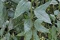 Golovinomyces ambrosiae on Jerusalem Artichoke - Helianthus tuberosus (31462931408).jpg