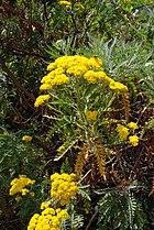 Gonospermum elegans