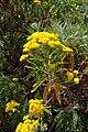 Gonospermum elegans.jpg