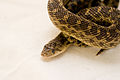 Gopher Snake Pituophis catenifer 08.jpg