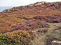 Gorse and Heather - geograph.org.uk - 53787.jpg
