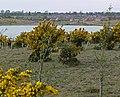 Gorse bushes at Albert Village Lake - geograph.org.uk - 799119.jpg