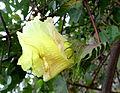 Gossypium arboreum kz2.JPG