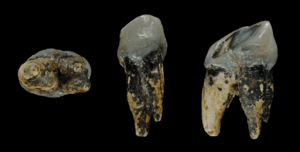 Graecopithecus - Image: Graecopithecus tooth