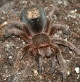 Grammostola.rosea.with.hair.patch.jpg