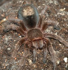Grammostola species showing shed hairs