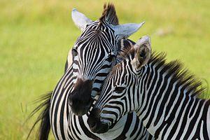 Grant's zebra - Image: Grants Zebras Florida