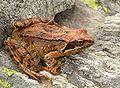 Grasfrosch auf Stein.jpg