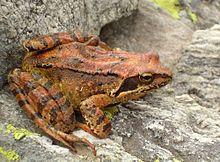 une grenouille de couleur rousse marbrée de brun, aux joues noires