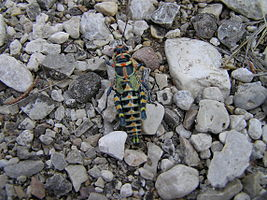 Grasshopper in Guadalupe Mountains National Park.jpg