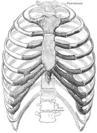 Ribcage from Gray's Anatomy