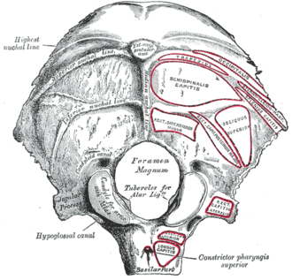 Condylar canal - Occipital bone. Outer surface. (Condyloid canal visible at center left.)