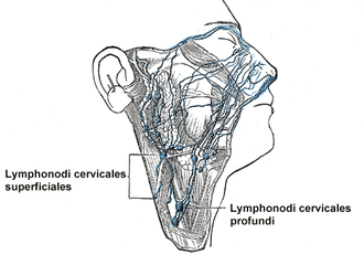 Cervical lymphadenopathy - Lymph nodes in the neck