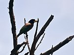 Great Barbet I4 IMG 3164.jpg