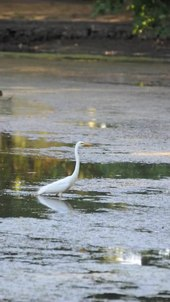 Tập tin:Great Egret.ogv