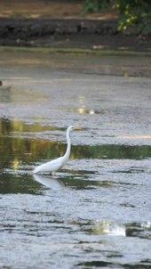 File:Great Egret.ogv