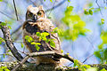 Great Horned Owlet (Bubo virginianus) (16606148983).jpg
