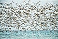 Great Knot 42 - Lee Point.jpg
