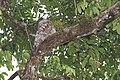 Great Potoo (Nyctibius grandis) (5771807457).jpg
