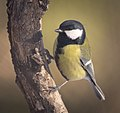 Great tit (32496706985).jpg
