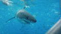 Great white shark at Isla Guadalupe, Mexico, November 2017. Shark cage diving with the MV Horizon. Animal estimated at 16-18 feet in length, age unknown.png